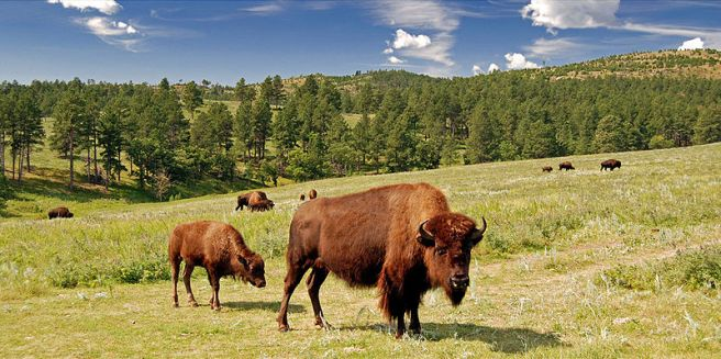 American bison - photo from Wikipedia.com