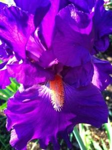 Iris downes