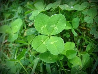 330px-4-leaf_clover