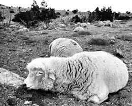 DNEWS TOXIC UTAH DEAD SHEEP